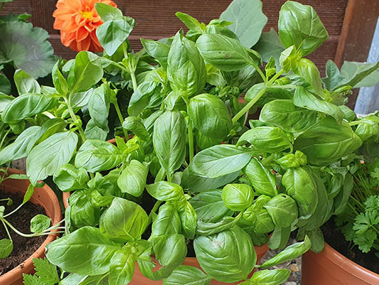 our-bunch-of-basil